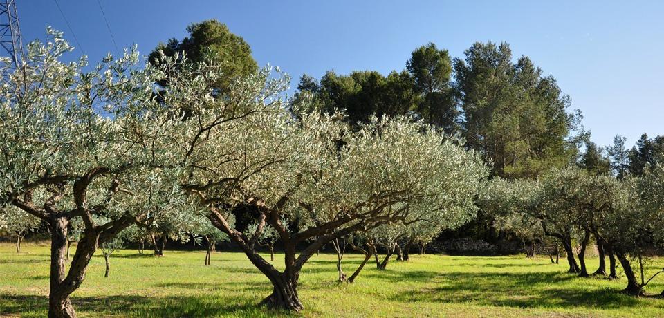 Champ d'olivier en drôme provençal